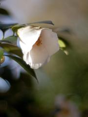 Camellia japonica ' Hatsuarashi ' (Polotaro) Tags: flower nature pen olympus camellia   zuiko ep1     fantasticflower gzuiko50mmf14