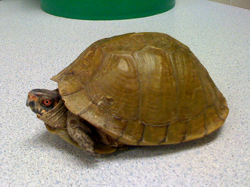 Herps Of Arkansas Three Toed Box Turtle Terrapene Triunguis