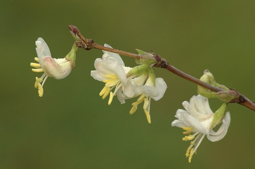 Chèvrefeuille d'hiver • Lonicera fragrantissima