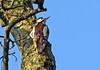 Not well spotted Woodpecker (Mr Grimesdale) Tags: woodpecker britishbirds greaterspottedwoodpecker stevewallace mrgrimesdale