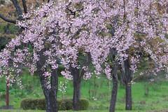 Blossom Photo (jasohill) Tags: pink japan season cherry landscape spring scenery warm blossoms iwate   morioka