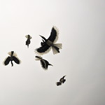Hornbill Feeding Frenzy, Pangkor Island thumbnail