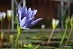 (mahmud.rassel) Tags: flower lotus bongo bangladesh bangla bengali bangali shapla nationalflowerofbangladesh mahmudrassel