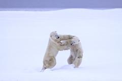 "Eisbären Cape Churchill. Hudson Bay, Kanada (6) • <a style=""font-size:0.8em;"" href=""http://www.flickr.com/photos/73418017@N07/6730323013/"" target=""_blank"">View on Flickr</a>"