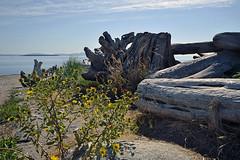BEACH LIFE (13) (DESPITE STRAIGHT LINES) Tags: ocean wood morning sea canada tree beach landscape sand day bc britishcolumbia shoreline atlantic clear driftwood bark trunk sidney islandviewbeach saanichton islandview d700 nikond700nikon ilobsterit