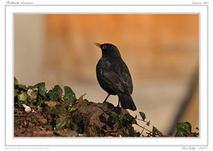 "Portrait [ merle | Turdus Merula | Common Blackbird"""" (BerColly) Tags: france bird garden google flickr jardin turdusmerula merle oiseau auvergne puydedome commonblackbird bercolly nikkor500pf4"