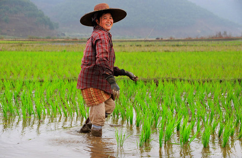 Working in the rice field 01