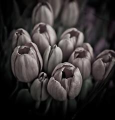 Tulipans (Juan Antonio Cap) Tags: naturaleza flower nature fleur petals tulips bokeh natur flor natura stamens  blume fiore  petali bltenbltter tulpen  tulipes petalos tulipanes    ptales pistils stamina tulipani    pistilos estambres  pistilli  stami tamines          bltennarben