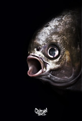 Surprised Pomfret - [Explored #181] (Chairman Ting) Tags: fishface pomfret sigma30mm explored interestinglast7days fishportrait nikond90 carsonting pomfretfish chairmanting chairmantingindustries chairmantingphotography closeupfishface surprisedfish gapingmouthfish pomfretsurprised fishfaceportrait explored181