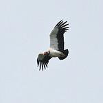 028007-IMG_1774 King Vulture (Sarcoramphus papa) thumbnail