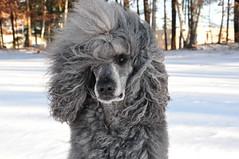 Baldr the Bliver or is it Blavender :) (Foxxy & Baldr) Tags: snow nh londonderry standardpoodle baldr