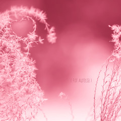 ♥ { For Aurelia } ♥ (pixelmama) Tags: theateamrallyingforaurelia foraurelia heart love ♥ pink fountaingrass {{hugs}} xo sliderssunday hss squareformat gettyimages pixelmama explore