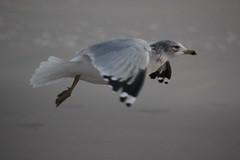 in flight (Jaclyn Celeste) Tags: sky seagulls birds clouds flying wings seagull flight