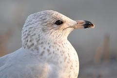 Bird - Seagull enjoying the sunset (blmiers2) Tags: bird birds nikon seagull d3100 blm18 blmiers2