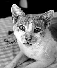 Cat ( Lefkas - Greece) (BW) (Olympus PEN EP1 & FT mZuiko 35mm F2 macro lens) (markdbaynham) Tags: bw white black macro monochrome pen cat 35mm lens greek feline hellas olympus greece grecia zuiko csc ep1 lefkas lefkada mft m43rd u43rd