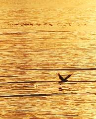 The golden hour (leifolsen) Tags: seagulls water norway golden norge seagull gull gulls fjord herring midnightsun summernight sild mke thegoldenhour mker mse northernnorway mser senjaisland