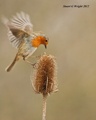Robin coming in to land (Stuart G Wright Photography) Tags: bird robin birds wildlife cannock chase stuartgwrightcom