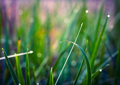 Slow Start (Android9) Tags: color macro green nature water grass outside purple bokeh colorphotography dewdrop 365 thismorning canon70200l project365 canonphotography 365days 365project