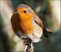 Robin (Grasping-air) Tags: robin