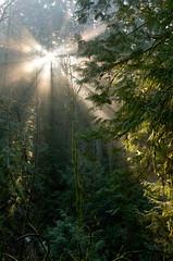 Linear (6/52) (Colette Hopkins Photography) Tags: light forest landscape westcoast sunflare ptm52