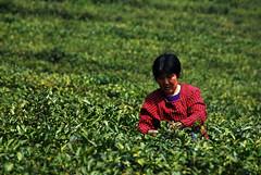 tea-picking-5 (湖光虾影) Tags: china wuxi jiangsu chinesetea 无锡 teapicking 茶叶 中国茶 采茶 斗山 大浮