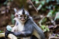 Thomas Leaf Monkey 4667 (Ursula in Aus (Resting - Away)) Tags: animal sumatra indonesia unesco bukitlawang gunungleusernationalpark earthasia sumatrangrizzledlangur thomasslangur presbytisthomasi thomasleafmonkey