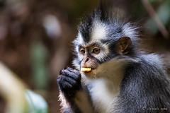 Thomas Leaf Monkey 4700 (Ursula in Aus) Tags: animal sumatra indonesia unesco bukitlawang gunungleusernationalpark earthasia sumatrangrizzledlangur thomasslangur presbytisthomasi thomasleafmonkey