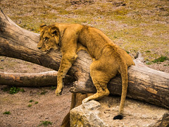 lion cub is relaxing (Daphne0507) Tags: animal cub belgie lion panasonic daiza pairi gx7 45175
