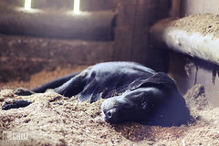 Dog sleeping in the stable (#KarineOggPhoto) Tags: sleeping dog black female nice labrador sleep stall preto cruz cachorro dormir stable ka dormindo baia cocheira femea serragem kcruz dogkcruz animalkcruz animalskcruz