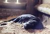 Dog sleeping in the stable (#KarineOggPhoto) Tags: sleeping dog black female nice labrador sleep stall preto cruz cachorro dormir stable ka dormindo baia cocheira femea serragem kcruz dogkcruz animalkcruz animalskcruz