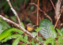 Snowy Browed Flycatcher - female (WilliamPeh) Tags: wild bird birds animal forest outdoor snowy wildlife birding olympus explore omd flycatcher browed em5