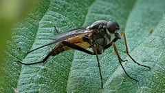 Schnepfenfliege (Rhagionidae) auf Brennessel (AchimOWL) Tags: macro animal insect lumix tiere focus post outdoor wildlife ngc stack panasonic makro insekt tier fliege schrfentiefe gx8 textur zweiflgler
