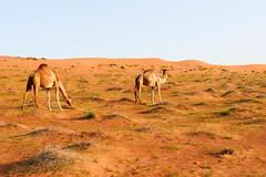 P1770367.jpg (brianduncan) Tags: desert oman camels