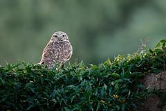 Owl-2 (blackhawk32) Tags: owl burrowingowl