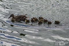 DSC_3098 (mikewarnerphotography) Tags: duck grove ducklings carshalton mwp