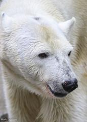 234A5161.jpg (Mark Dumont) Tags: bear snow animals mammal zoo mark cincinnati polar dumont