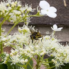 Myathropa florea (Ron van Zeeland) Tags: flowers macro insects hoverfly zweefvlieg myathropaflorea doodskopzweefvlieg