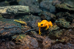 The Dwarf Frog (Vittorio.DellErba) Tags: blue orange brown black color macro green nature wet animal yellow lights moss nikon shadows dwarf earth small blurred frog indoors sprigs