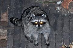 Raccoon next door (1) (iaakisa) Tags: animal raccoon procyonlotor frommybalcony
