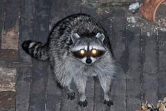 Raccoon next door (1) (iaakisa) Tags: animal raccoon procyonlotor frommybalcony