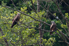_F0A9475.jpg (Kico Lopez) Tags: birds rio spain aves galicia milvusmigrans lugo mio milanonegro