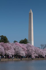 Sur les bords de Tidal Basin (Seb & Jen) Tags: usa flower fleur cherry washington districtofcolumbia unitedstates blossom obelisk cerisier tidalbasin obelisque étatsunis