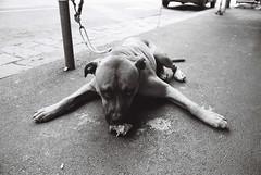 No Sharing (raindog_mk) Tags: street blackandwhite film dogs 35mm collingwood ilford nikonf2photomic pushprocessing delta400pro