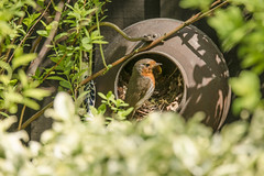 The Kettle Family (Darren Cordingley) Tags: nature birds nikon babies wildlife young somerset robins kettle chicks bushes d800 sigma150600mmsport