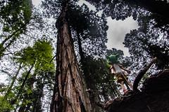 IMG_3580.jpg (edcool1_1) Tags: yotsuba yotsubato revoltech yotsubayosemite         neldergrove shadowofthegiants sequoia redwood giantredwoods forest trees