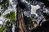 IMG_3580.jpg (edcool1_1) Tags: yotsuba yotsubato revoltech yotsubayosemite よつば よつばと よつば& リボルテック よつばとヨセミテ国立公園 よつばとヨセミテ よつば&ヨセミテ国立公園 よつば&ヨセミテ neldergrove shadowofthegiants sequoia redwood giantredwoods forest trees