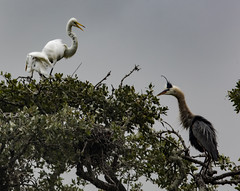 _40A3812 (ChefeGrande) Tags: tree heron silhouette landscape texas nest outdoor snap breeding territory birdsanctuary greatwhiteegret erectedplumage