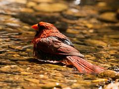 Northern Cardinal (grobinette) Tags: cardinal northerncardinal monticellopark