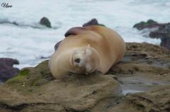Sea seal 1 (usov.usov) Tags: california usa la san diego seal jolla