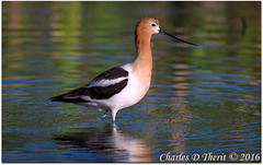 American Avocet (ctofcsco) Tags: 1800 1d 1div 560mm 63 avocet bird canon color colorado ef400mmf28liiusm ef400mmf28liiusm14x eos1d eos1dmarkiv birds city co denver explore explored geo:lat=3970432656 geo:lon=10508710738 geotagged lakewood northamerica park unitedstatesofamerica extender extender14x extender14xii extenderef14x extenderef14xii mark4 markiv nature photo picture supertelephoto teleconverter telephoto unitedstates usa water wildlife animal outdoor